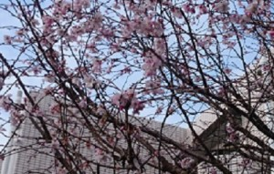 2016冬桜2