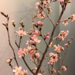 20190228啓翁桜